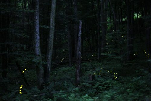 lightning bugs at night in forest